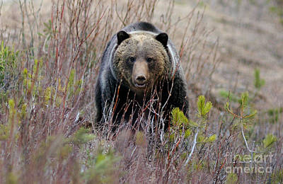 Photograph - Banff - Grizzly Bear 1 by Terry Elniski