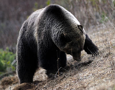 Photograph - Banff - Grizzly Bear 2 by Terry Elniski