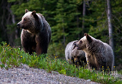 Photograph - Banff - Mother Grizzly And Cubs 1 by Terry Elniski