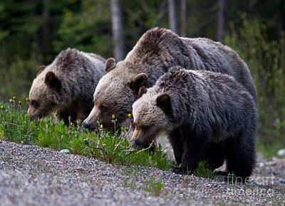 Photograph - Banff - Mother Grizzly And Cubs 2 by Terry Elniski