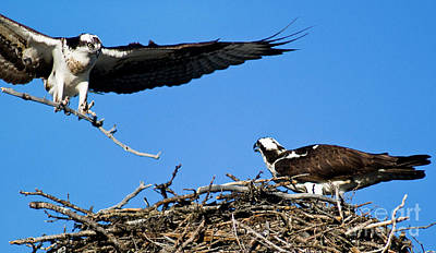 Photograph - Banff - Osprey 1 by Terry Elniski