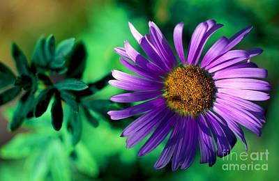 Photograph - Banff - Subalpine Fleabane Wildflower by Terry Elniski
