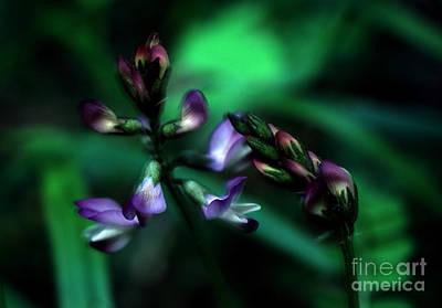 Photograph - Banff - Timber Milkvetch Wildflower 1 by Terry Elniski