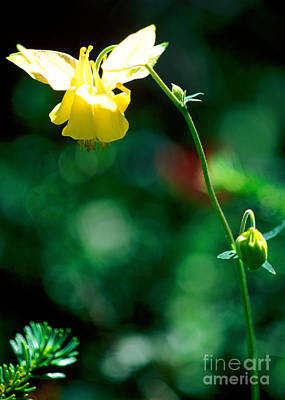 Photograph - Banff - Yellow Columbine Wildflower by Terry Elniski