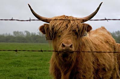 Photograph - Banged Bovine by Lorraine Devon Wilke