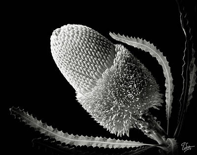 Photograph - Banksia In Black And White by Endre Balogh