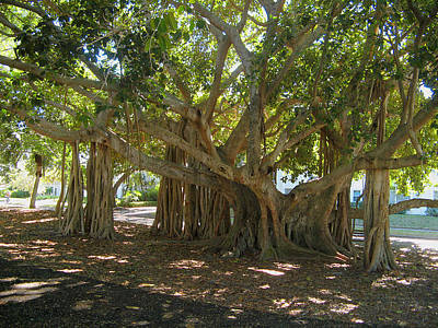 Photograph - Banyan Trees Marie Selby by Leontine Vandermeer