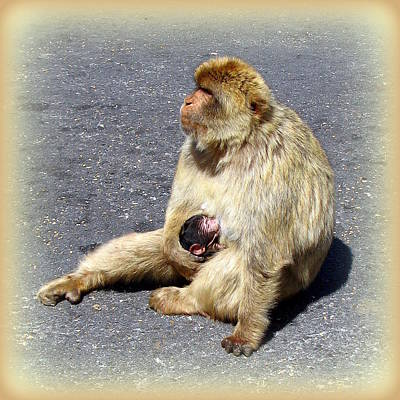 Photograph - Barbary Ape Mother And Baby by Carla Parris