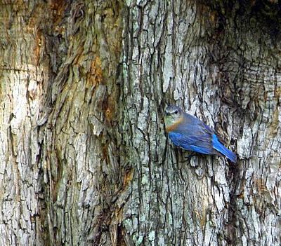 Photograph - Bark And Bluebird 2 by Judy Wanamaker