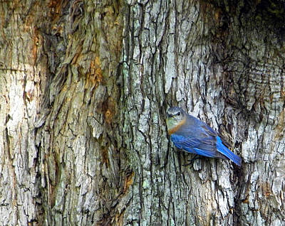 Photograph - Bark And Bluebird by Judy Wanamaker