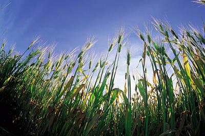 Jul08 Photograph - Barley Field, Near Dugald, Manitoba by Dave Reede