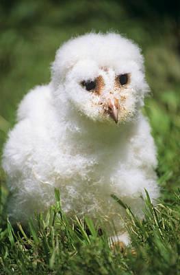 Barn Owl Chick Art Print by David Aubrey