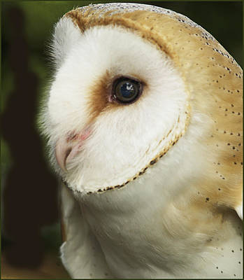 Barn Owl Close-up Art Print by Barbara Middleton