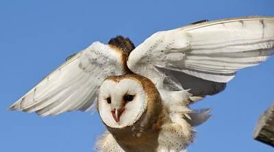 Barn Owl In Flight Art Print by Paulette Thomas
