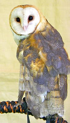 Photograph - Barn Owl by KD Johnson