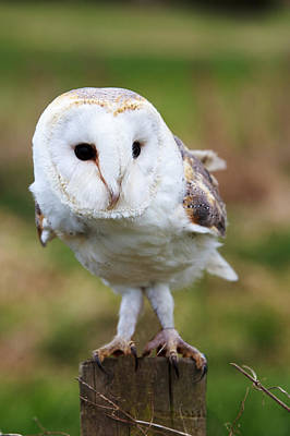 Pete Reynolds Photograph - Barn Owl by Pete Reynolds