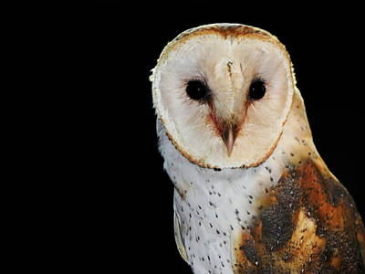 Photograph - Barn Owl by Ramona Johnston