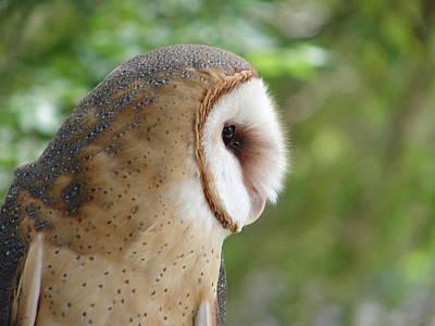 Photograph - Barn Owl by Randy J Heath
