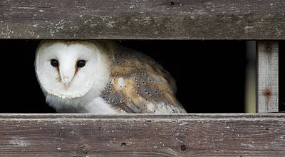 Barn In The Woods Photograph - Barn Owl, Tyto Alba Peering Through Shed by Jonathan Lewis