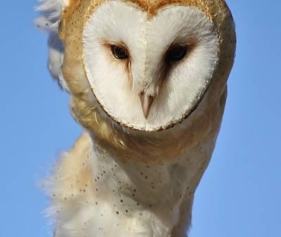 Barn Owl Up Close Print by Paulette Thomas
