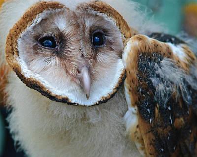 Barn Owlet Art Print
