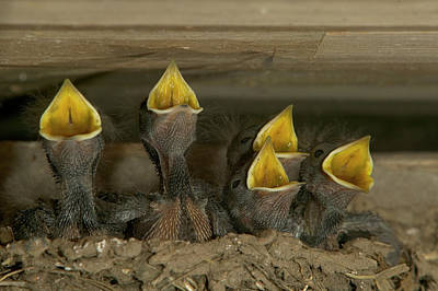 Barn Swallow Hirundo Rustica Chicks Print by Cyril Ruoso