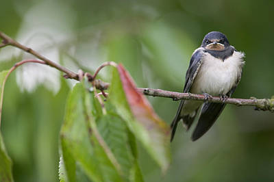 Barn Swallow Hirundo Rustica Fledgling Print by Cyril Ruoso