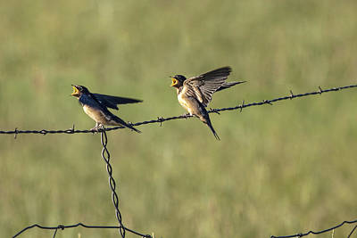 Swallow Photograph - Barn Swallow No.3742 by Randall Nyhof