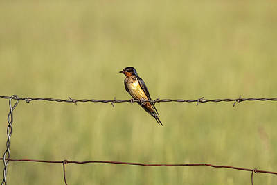 Swallow Photograph - Barn Swallow No.3758 by Randall Nyhof