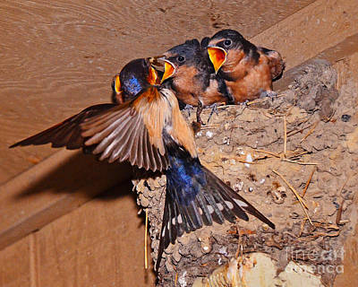 Photograph - Barn Swallows by Jack Moskovita