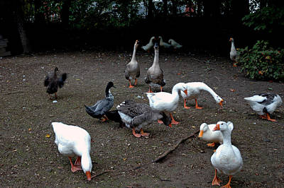 Goose Photograph - Barn Yard Cluckers by LeeAnn McLaneGoetz McLaneGoetzStudioLLCcom