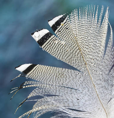 Photograph - Barred Feather With Waterdrops by Jean Noren