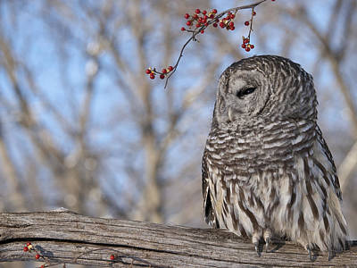 Of Bittersweet Photograph - Barred Owl And Red Berries by Cindy Lindow