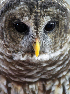 Photograph - Barred Owl Closeup by Barbara Middleton