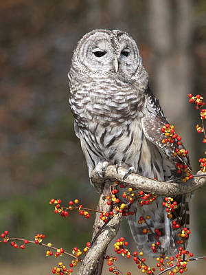 Of Bittersweet Photograph - Barred Owl Closeup by Cindy Lindow