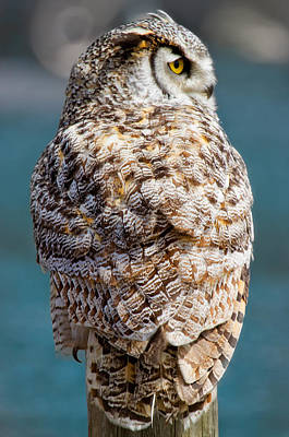 Barred Owl Art Print by Naman Imagery