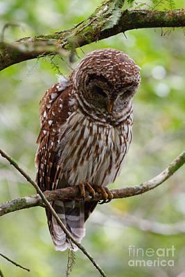 Barred Owl Art Print by Joe Elliott