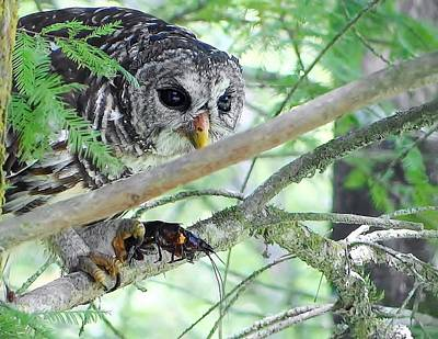 Barred Owl With Crawfish Art Print by Betty Berard