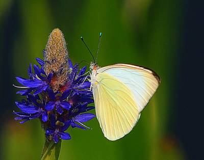 Photograph - Barred Sulphur Butterfly by Ira Runyan