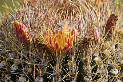 Photograph - Barrel Cactus Flower Blooms Close-up by James BO Insogna