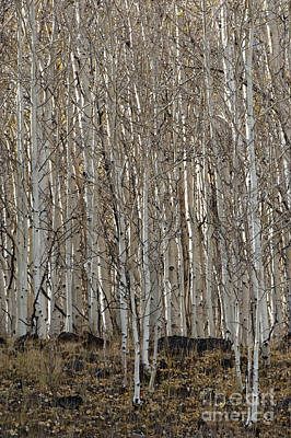Photograph - Barren Aspen by Sandra Bronstein