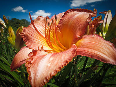 Basking In The Sunlight - Peach Colored Lily In A Flower Garden On A Hot Summer Day Art Print by Chantal PhotoPix