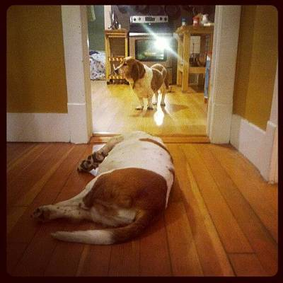 Photograph - Basset 'stand-off'... Rufus Lays In by Aubree Clark