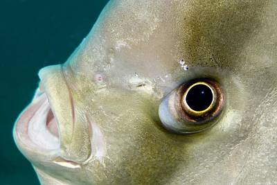 Ephippidae Photograph - Batfish Head by Matthew Oldfield