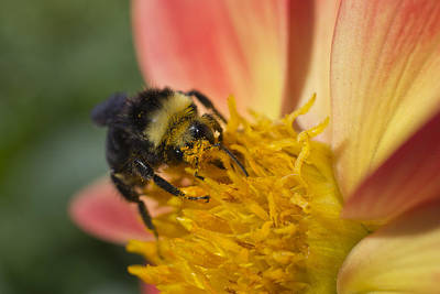 Photograph - Bathing In Pollen  by Priya Ghose
