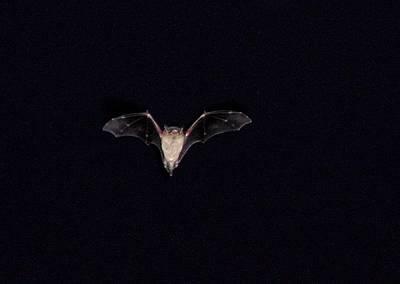 Batty About Bats Original