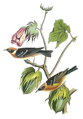 Warbler Painting - Bay-breasted Warbler by John James Audubon