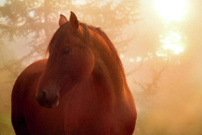 Bay Horse In Fog At Sunrise Art Print