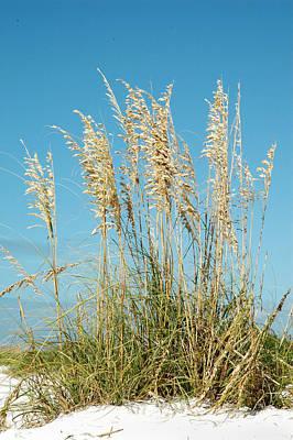 Photograph - Beach Grass At Lido Beach In Sarasota by Carol Vanselow