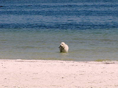 Photograph - Beach Poodle 2 by RobLew Photography